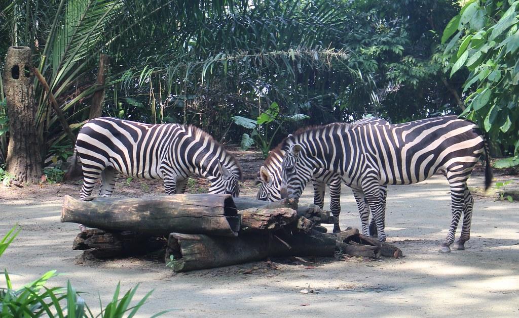Zebras, Singapore Zoo