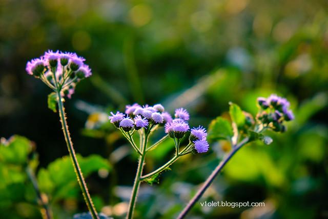 bunga ungu2-0094rw