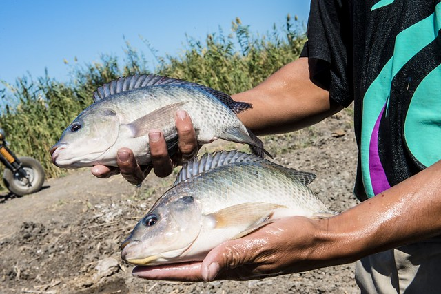 A hatchery worker holds Abbassa nile tilapia grown at a hatchery in Egypt. Photo by Heba El-Begawi, 2013