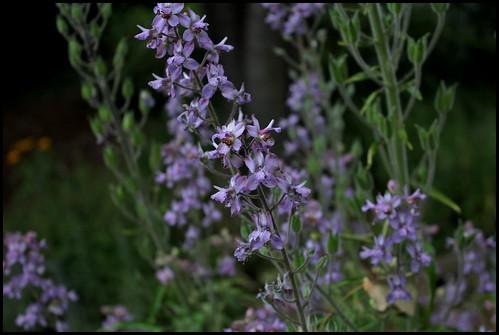 Delphinium requienii (5)