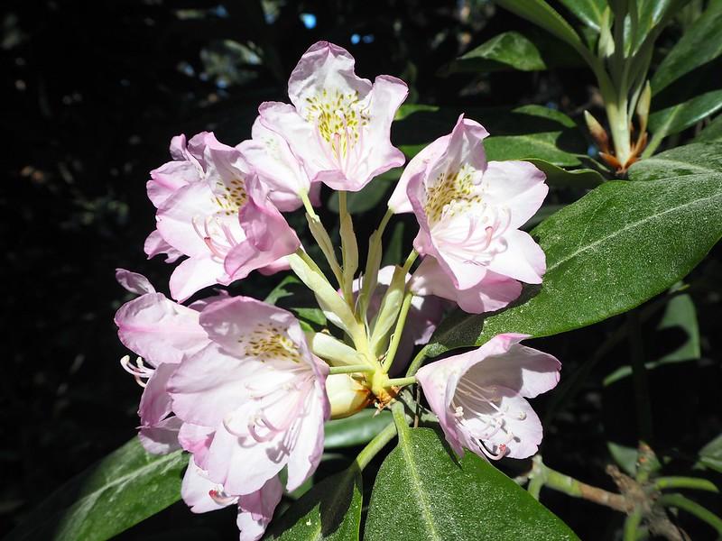 rodopuistokukkaP6015632,rodoparkpinkflowersP6015542,rodopuistoP6015517, rhodopuisto, alppiruusupuisto, haaga, huopalahti, helsinki, suomi, finland, visit helsinki, tips, retki, nature, alppiruusu,rhododendron, haaga, rodopuisto, rhododendron park, alppi ruusut, kukat, flowers, haagan alppiruusupuisto, rhodopark, bloom, kukinta, june, kesäkuu, rodo shrubs, flowering time, kukinta aika,