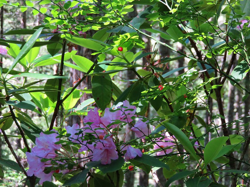 Rhododendron and red huckleberries