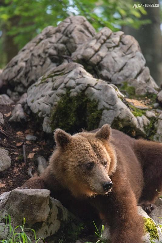Brown bear 12 - Slovenia