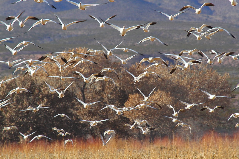 IMG_1504 Snow Geese
