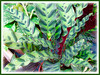 Calathea lancifolia (Rattlesnake Plant))