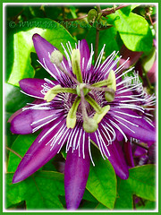 Macro shat of Passiflora incarnate (Maypop, Purple Passionflower, True Passionflower)