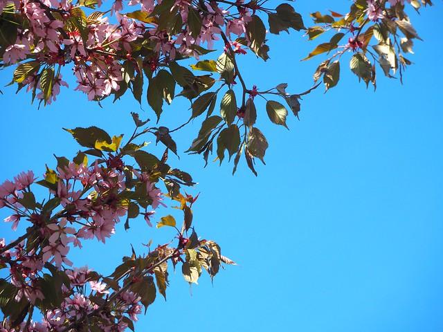 cherryblossomP5125129,japanesestylegardenP5124841,cherryblossomP5124847, cherry blossom, kirsikkapuu, kirsikan kukka, helsinki, roihuvuori, finland, suomi, hanami, helsinki tips, cherry park, japanese style garden, cherry tree park, cherry park, cherry trees, kirsikankukka puu, blooming, kukkia, vaaleanpunainen, pinkki, kukka, flower, cherry blossom helsinki, blue sky, sininen taivas, may, toukokuu, kesä, summer, kevät, spring, suomi, cherry woods, kirisikkapuisto, roihuvuori, japanilaistyylinen puutarha,