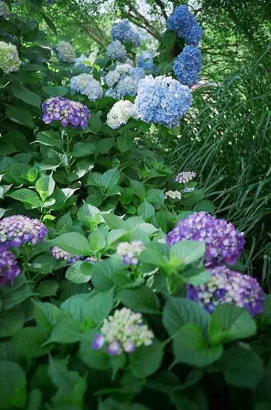 紫陽花 / hydrangea