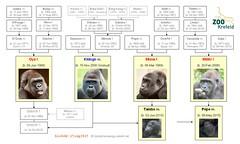 Gorilla Family - Krefeld - Kidogo's Group (2015)