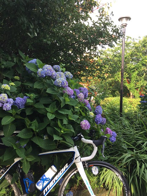 hidrangea and bike