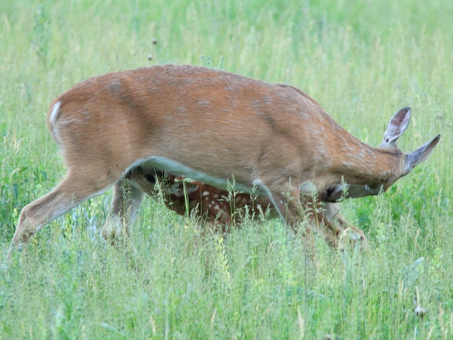 Whitetail Deer fawn nursing 20160616