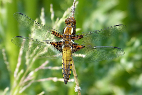 Broad-bodied Chaser Libellula depressa Tophill Low NR, East Yorkshire June 2016