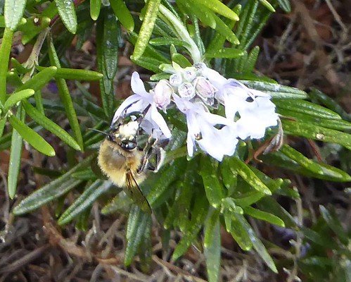 A plumipes on rosemary 2