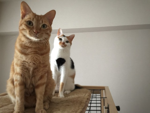 #cat #cats #catsofinstagram #catstagram #instacat #instagramcats #neko #nekostagram #猫 #ねこ #ネコ ネコ部 #猫部 #ぬこ #にゃんこ #ふわもこ部 #茶トラ#三毛猫