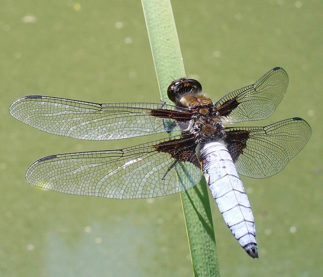 Vážka ploská (Libellula depressa)