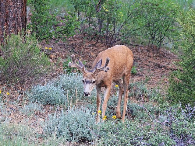 Mule Deer buck in velvet 2-20160612