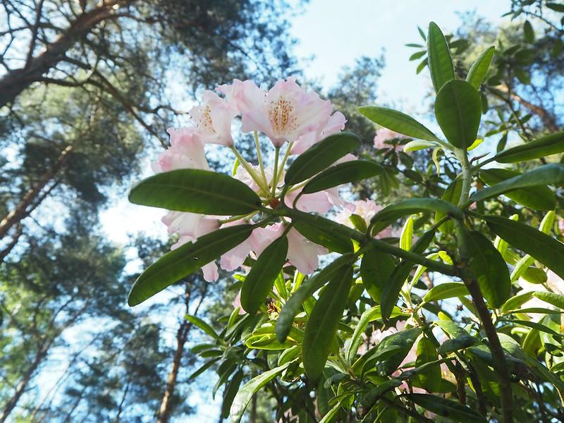 rodoparkP6015548,rodoparkpinkflowersP6015542,rodopuistoP6015517, rhodopuisto, alppiruusupuisto, haaga, huopalahti, helsinki, suomi, finland, visit helsinki, tips, retki, nature, alppiruusu,rhododendron, haaga, rodopuisto, rhododendron park, alppi ruusut, kukat, flowers, haagan alppiruusupuisto, rhodopark, bloom, kukinta, june, kesäkuu, rodo shrubs, flowering time, kukinta aika, alppiruusu,