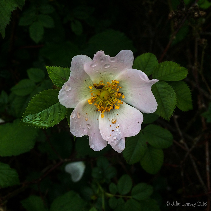 Dog rose after the rain