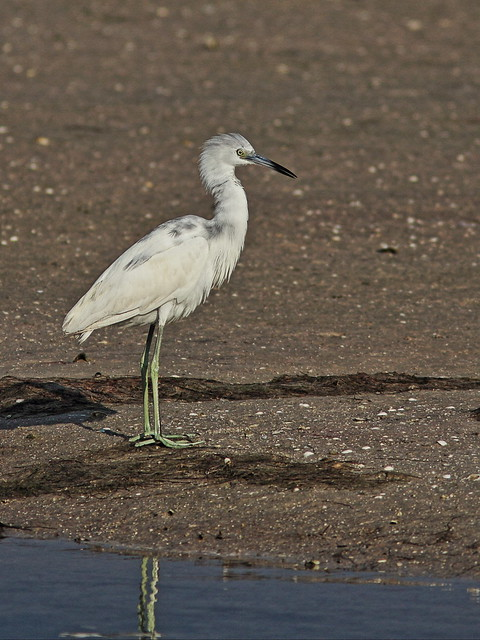 Little Blue Heron 20140422