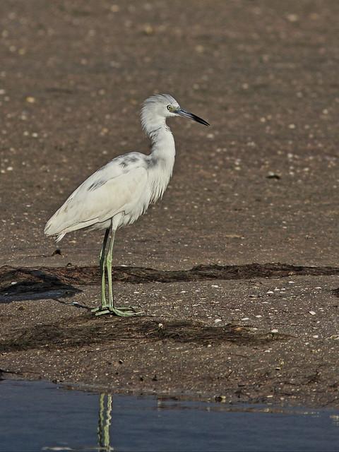 Little Blue Heron 20140422