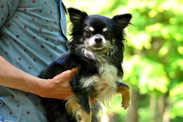 ロングコートチワワのマリン (Long coat Chihuahua)