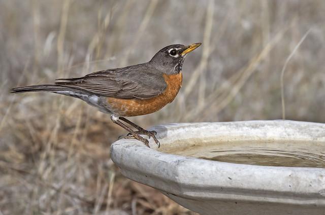 Robin 7D2_1565