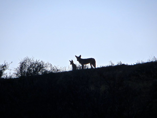 throwback thursday: coyote family