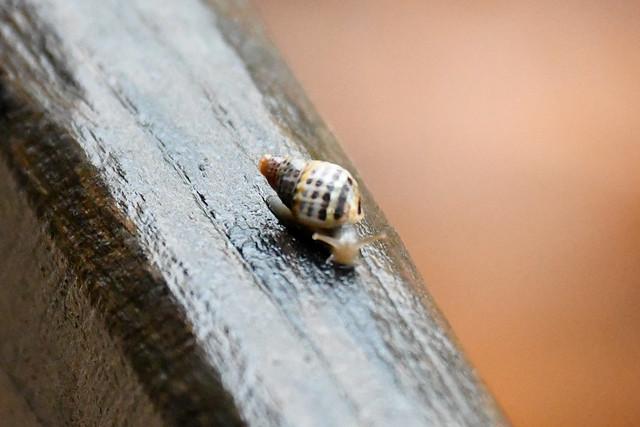 Snail (Curicacá)