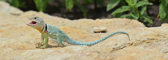 Eastern Collared Lizard #05