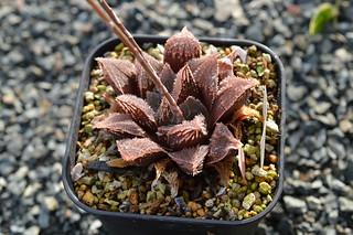 DSC_3429 Haworthia magnifica var. atrofusca hyb. H.ATR-01 ハオルチア アトロフスカ 交配種