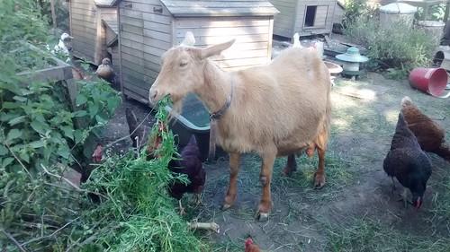 goats June 16 (6)