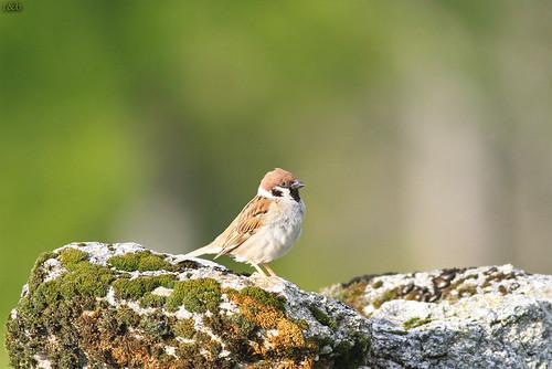 Pardal-montês (Passer montanus)