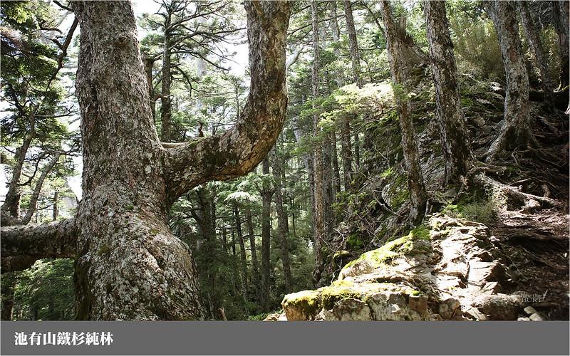 池有山鐵杉純林
