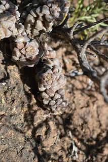 Anacampseros filamentosa ssp. namaquensis アナカンプセロス ナマクエンシス