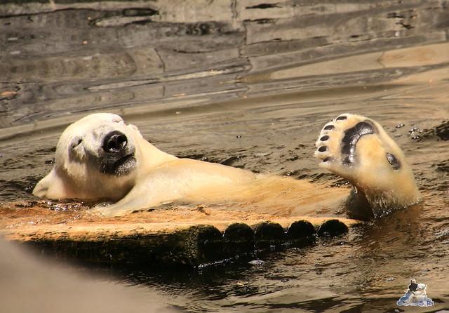 Eisbär Fiete im Zoo Rostock 04.06.2016   082