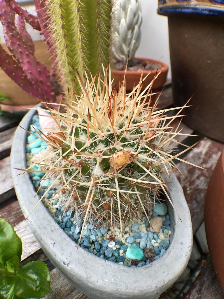 Mammillaria ? 27357223026_d2122d66f7_b