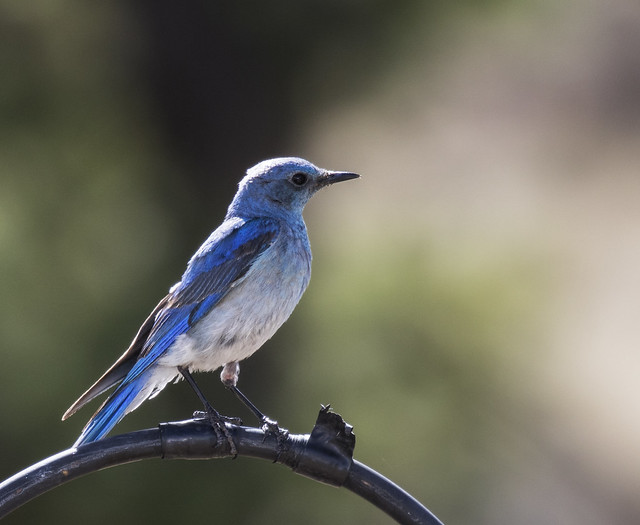 Mountain Bluebird-a 3-7D2-270616
