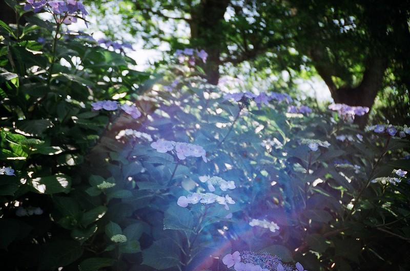 紫陽花 / レンズフレア