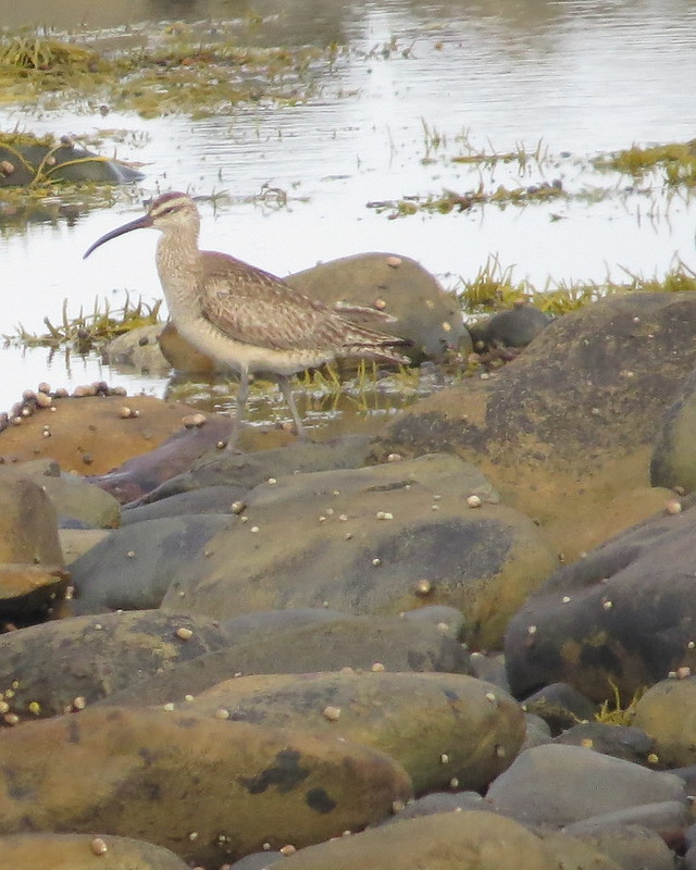 Whimbrel - hard to get close to so not very sharp - Hartlen Point - July 13, 2016