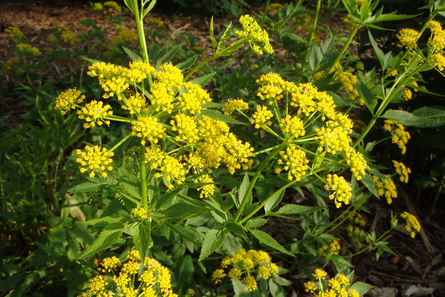 small bright-yellow flowers on several umbels