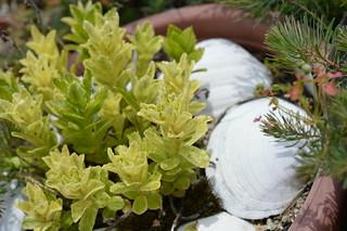 DSC_3227 Sedum aizoon var. floribundum f. variegata 散り斑麒麟草