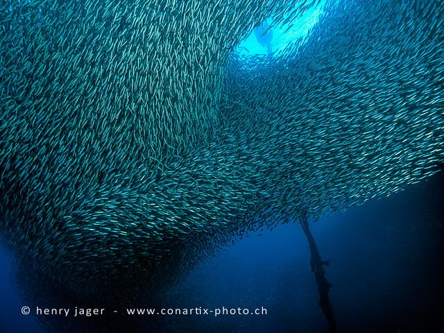 school of sardines