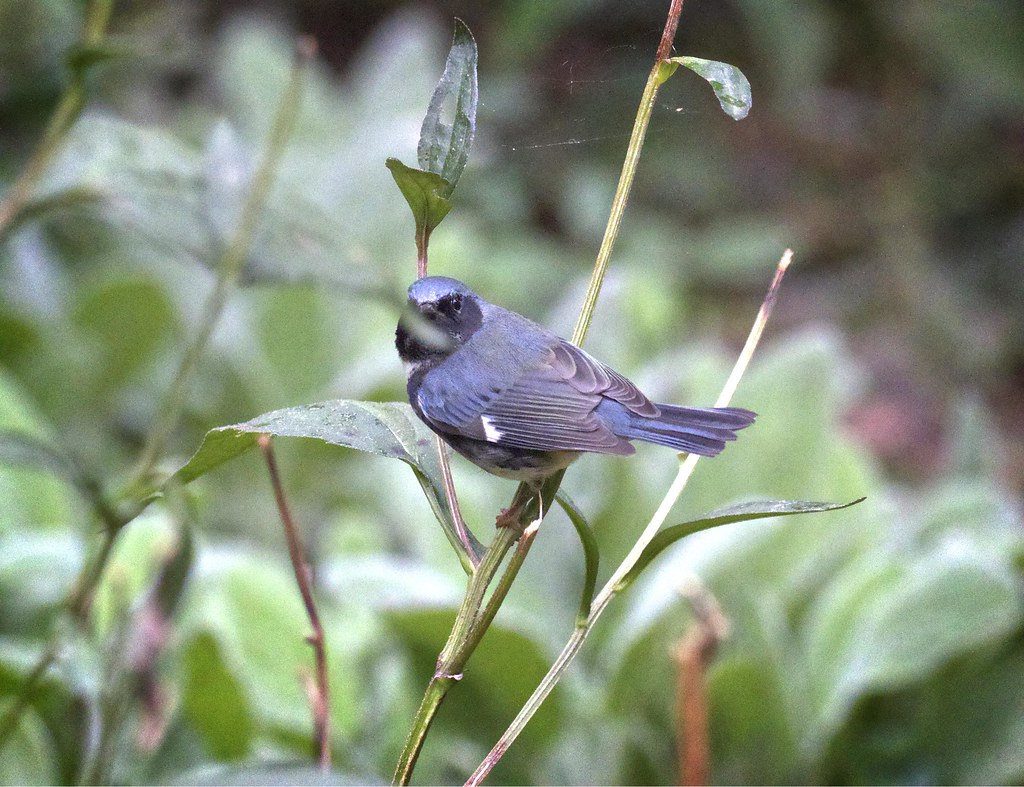 Black-throated blue warbler and strategically-placed leaf