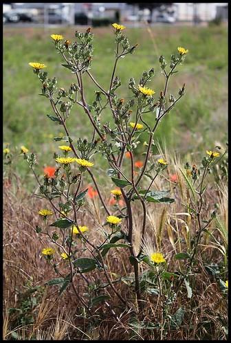 Picris hieracifolium