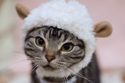Cat in sheep's clothing. #783