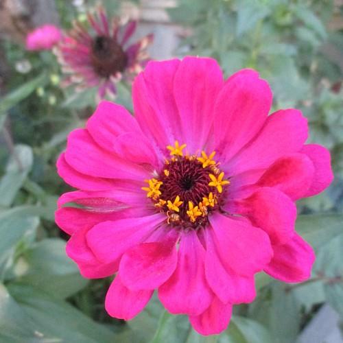 Neon pink zinnia #toronto #flowers #zinnia #pink #latergram