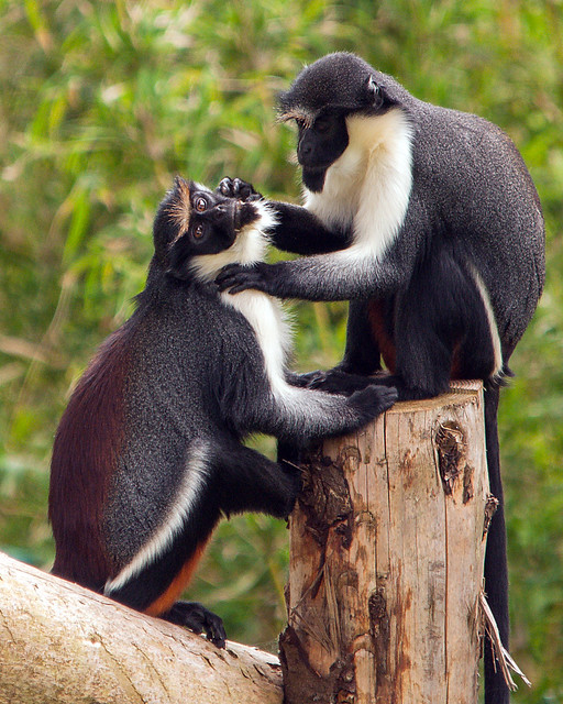 Two Diana Monkeys