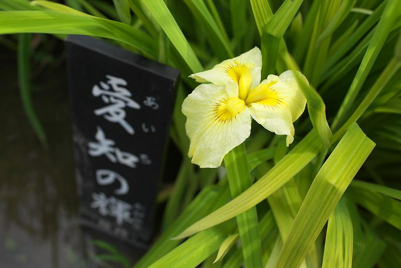 堀切菖蒲園 葛飾菖蒲まつり 2016年6月11日