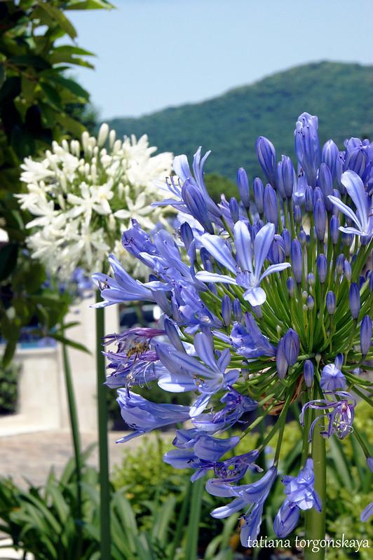 Белый и голубой агапантус