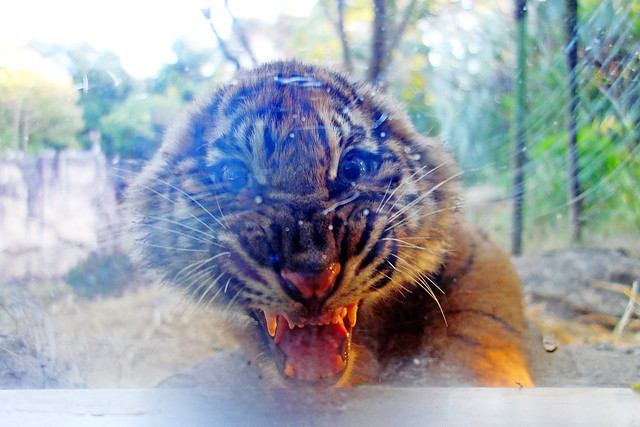 Baby Sumatran Tiger of Yokohama Zoological Gardens / スマトラトラの赤ちゃん